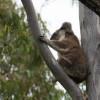 Koala – On Retreat